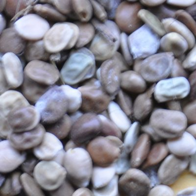 Lupinus sericeus  –  Silky Lupine