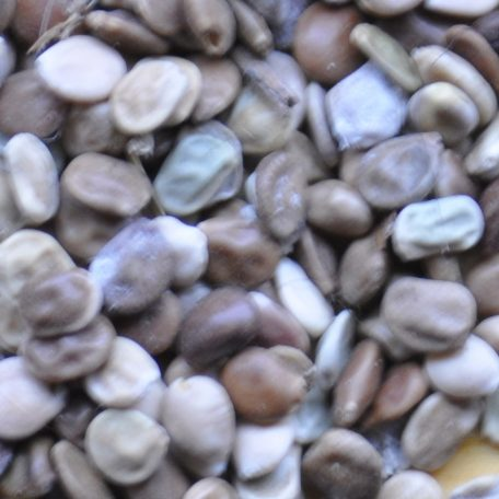 Lupine Seed Close Up