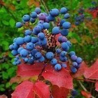 Oregon Grapes have extraordinary fall colors