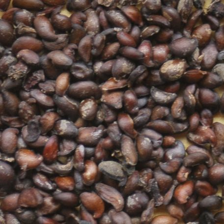 Serviceberry Seed Close Up