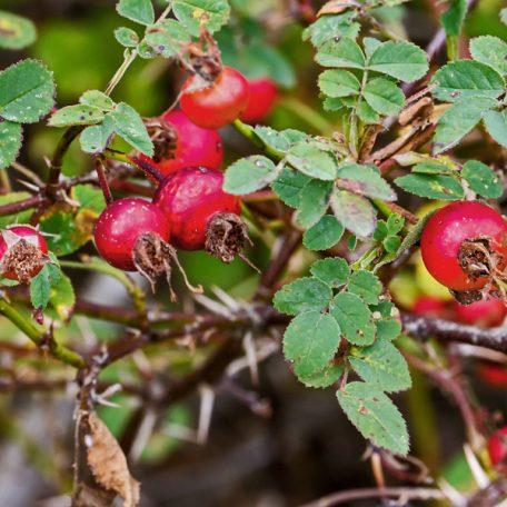 Nootka Rose Seeds