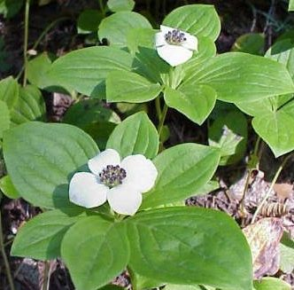 Bunchberry Dogwood Seeds