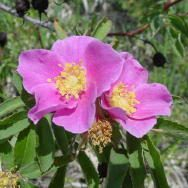 Rose Woods flowers are often covered in native bees and Hummingbirds