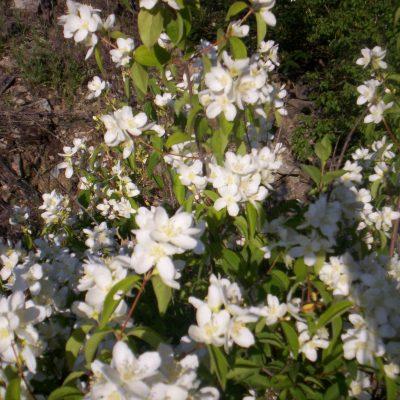 Philadelphus lewisii  –  Western Syringa