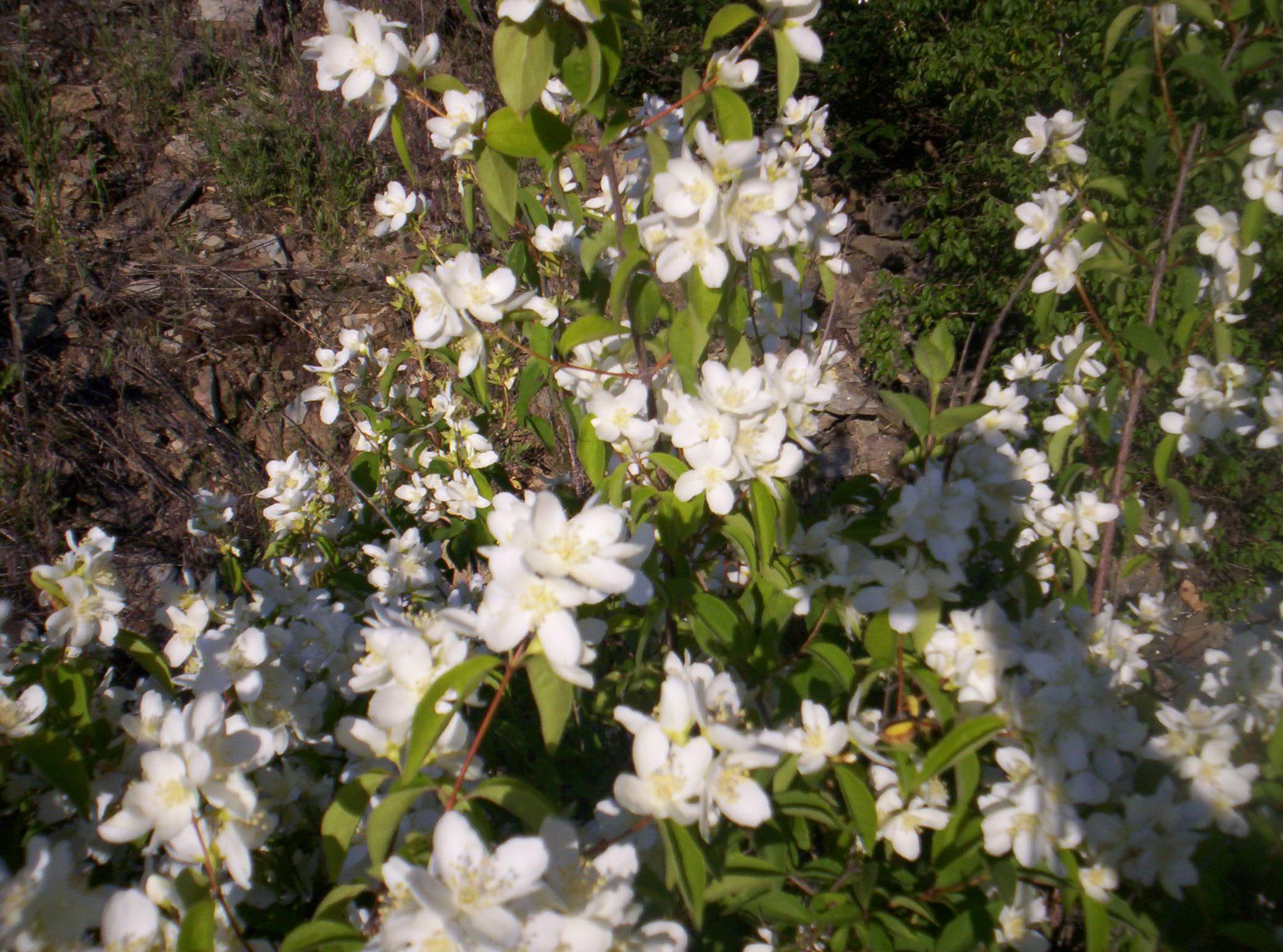 Syringa Seeds